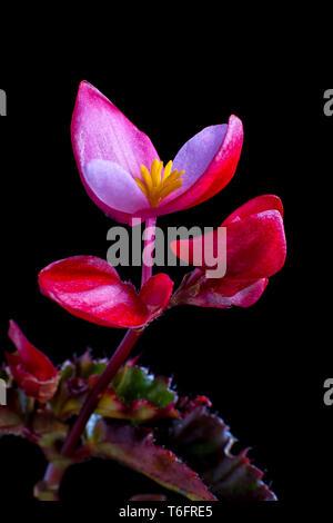 pink begonia closeup macro details - Stock Image
