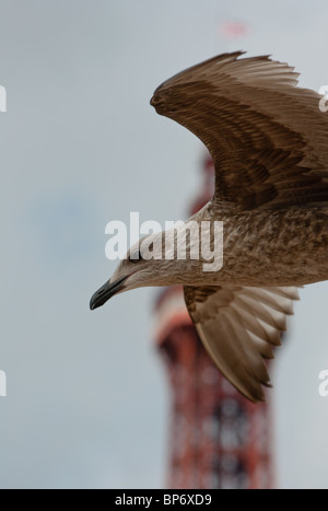 Seagull in mid flight with Blackpool tower in the background. - Stock Image