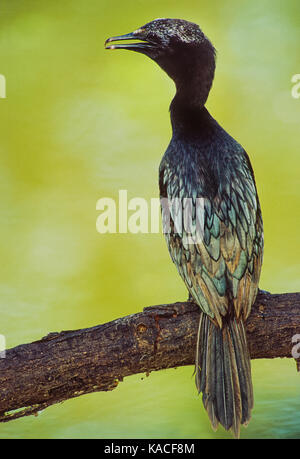 Little cormorant,(Microcarbo niger), perched on branch, Keoladeo Ghana National Park, Bharatpur, Rajasthan ,India - Stock Image