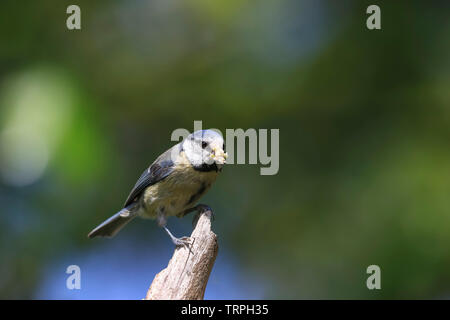 Detailed, close-up front view of wild, UK blue tit parent bird (Cyanistes caeruleus) isolated on perch carrying collected food in its beak for chicks. - Stock Image