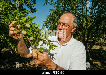 Agriculture - An almond grower inspects his mid season almond crop / near Newman, San Joaquin Valley, California, USA. - Stock Image