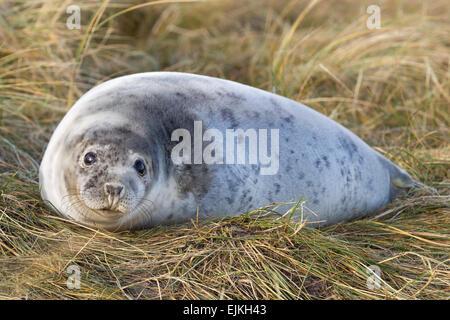 Grey Seal, Kegelrobbe, Halichoerus grypus, Helgoland, seal pup - Stock Image
