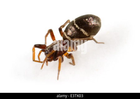 Female Glossy ant-spider (Micaria pulicaria), part of the family Gnaphosidae - Stealthy ground spiders. Isolated - Stock Image