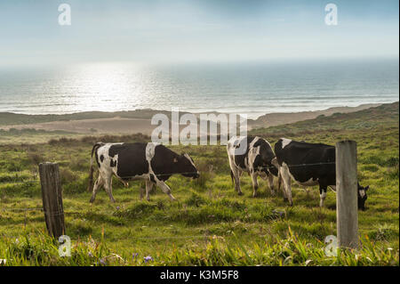 Cattle on Pasture - Stock Image