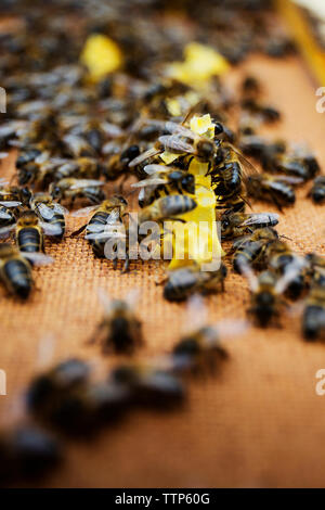 Close-up of honeybees on wooden beehive - Stock Image