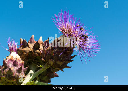 Bumblebees collecting pollen from the flower of a Cardoon plant (Cynara cardunculus or Cynara scolymus) or Globe Artichoke / Artichoke Thistle - Stock Image