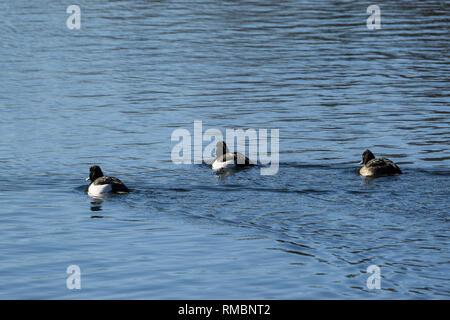 Three tufted ducks swimming away Milton Park Cambridge - Stock Image