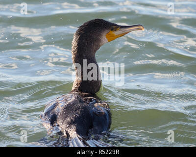 Cormorant at West Kirby Wirral UK - Stock Image