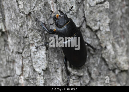 Stag beetle Female on oak tree back view Hungary June 2015 - Stock Image