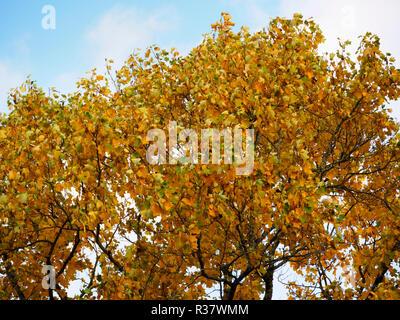 Yellow autumn foliage of the deciduous tulip tree,  Liriodendron tulipifera - Stock Image