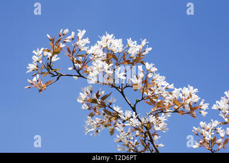 Amelanchier lamarckii blossoms in Spring. - Stock Image