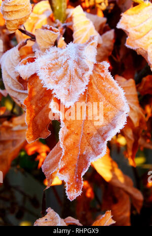 Close up of golden copper beach leaves covered in white frost, the closest two leaves are white at the edges in thick frost, behind are copper beach l - Stock Image