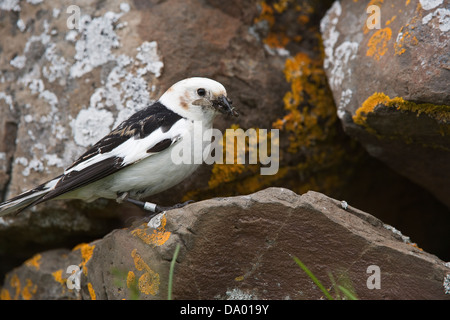 Snow Bunting (Plectrophenax nivalis) with insects at the nest entrance Flatey Island Breiðafjörður - Stock Image