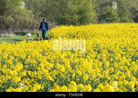A dog walker go's through arapeseed fields in Warwickshire, UK, 11 April 2019. - Stock Image