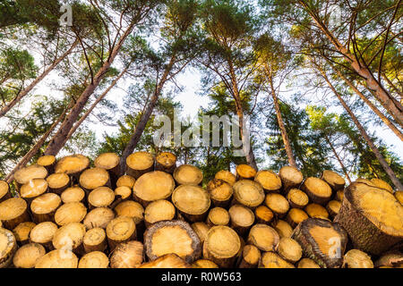 Stacked wooden logs under pine treetops and blue sky. Beautiful bottom view of raw wood tree trunks in sunny summer forest. Firewood close-up. Logging. - Stock Image