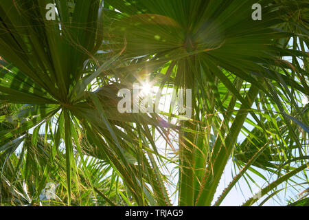 Palm tree leaves and sun beams in a sunny summer day - Stock Image