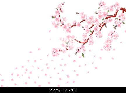 Sakura. Branches with pastel flowers, leaves and cherry buds. Cherry Petals. Isolated on white background illustration - Stock Image