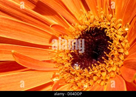 orange Gerbera daisy - Stock Image