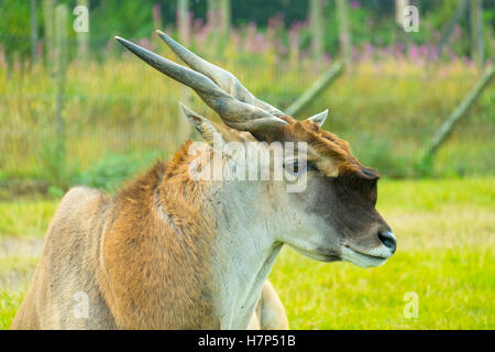 Common Eland close up. - Stock Image