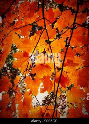 Maple leaves in autumn. Oak Park Illinois. - Stock Image