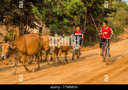 Young Herder and their cattle in the countryside of Vang Vieng, Laos - Stock Image
