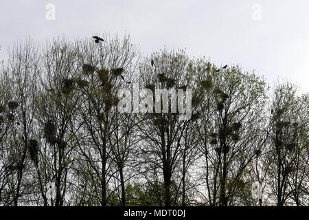 Raven nests in tree crochet with ravens fly - Stock Image