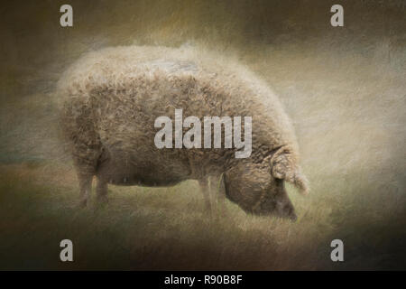Composite of a pregnant blonde mangalitsa sow - Stock Image
