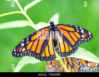 Monarch butterfly Danaus plexippus  female laying eggs on a milkweed plant - Stock Image