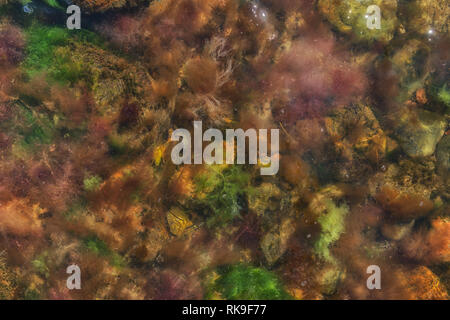 Algae, seaweed and stones at the shore of the Baltic Sea, Island of Fehmarn, Schleswig-Holstein, North Germany, Europe - Stock Image
