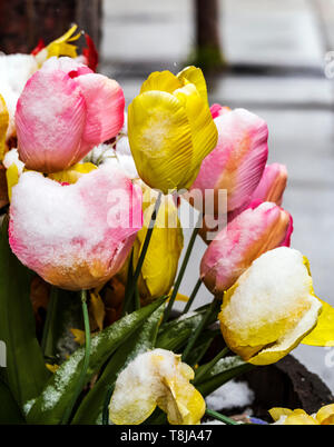 Fresh springtime snow on artifical flowers in garden planter; Salida; Colorado; USA - Stock Image