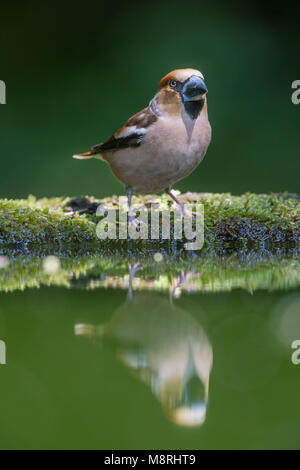 Male Hawfinch (Coccothraustes coccothraustes)  beside a forest pool - Stock Image