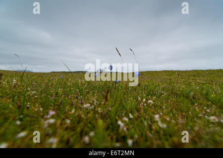 fragile small blue flowers in a wide expanse of grass - Stock Image