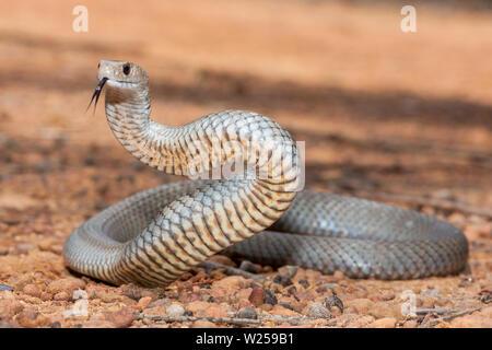 Eastern Brown Snake - Stock Image