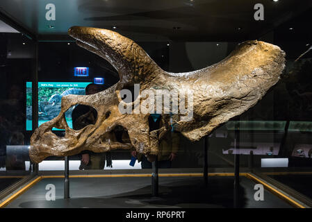 Fossil skull of a Triceratops in display. The Field Museum. Chicago, Illinois, USA. - Stock Image