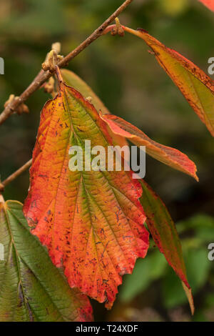 Colour change in leaves in witch hazel (Hamamelis) in Scotland in early October. - Stock Image