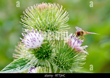 Lesser Burdock (arctium minus), close up of a cluster of flower heads with a Hoverfly feeding on one of them. - Stock Image