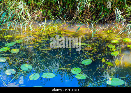 Beautiful river scene with reeds and water lilies on the Combe Haven river in East Sussex, England - Stock Image