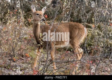 White tailed deer (Odocoileus virginianus), Johnson Lake, Banff - Stock Image
