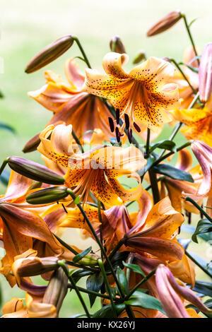 Lily,Lilies, Lilium 'Evina' - Stock Image