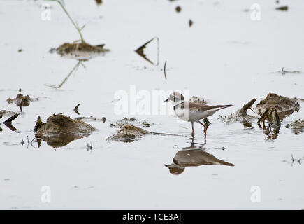 Little ringed plover walking in lakeshore, Hanoi, Vietnam - Stock Image