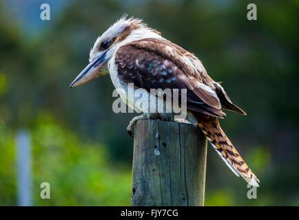 Kookaburra sitting on a fence post - Stock Image