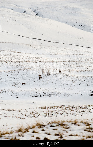 image of red deer herd foraging for food in winter landscape - Stock Image