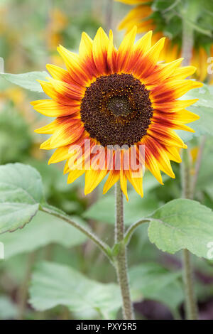 Close-up of Helianthus annuus, 'Ring of Fire' flower. Sunflower 'Ring of Fire' - Stock Image