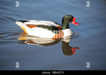 Common Shelduck, Tadorna tadorna, Gloucestershire, UK - Stock Image