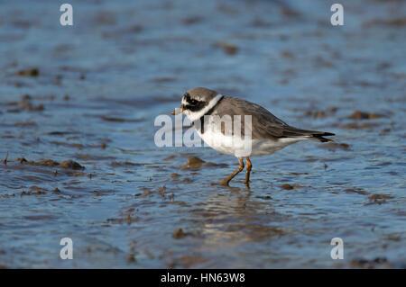 Ringed plover (Charadrius hiaticula) in winter plumage, feeding on intertidal mudflats. Norfolk, England. November. - Stock Image