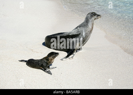 Galapagos Sea Lion and Pup, Zalophus wollebaeki, Espanola Island, Galapagos Archipelago, Ecuador - Stock Image