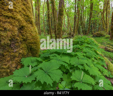 USA, Washington State, Gifford Pinchot National Forest. Vanilla leaf in bigleaf maple grove. - Stock Image