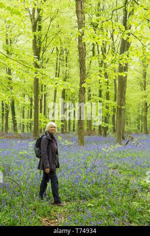 Mature woman walking in beech woodland among Bluebells, Hyacinthoides non-scripta, Sussex, UK, April - Stock Image