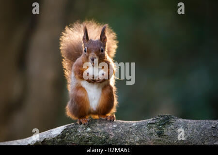 Red Squirrel  (Sciurus vulgaris) standing with a nut in its mouth backlit with bright sunlight. - Stock Image