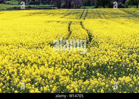 Image of a yellow blooming rapeseed field in rural countryside. - Stock Image